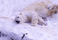 地球温暖化によるホッキョクグマの絶滅の写真