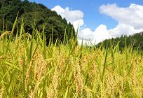 地球温暖化が日本の農業に与える影響の写真