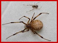 ハイイロゴケグモ
